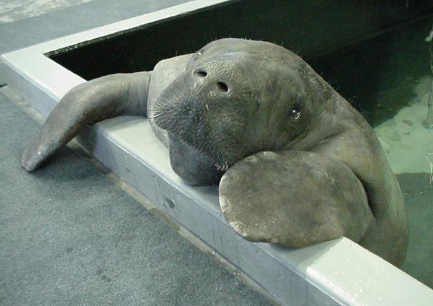 Snooty the Manatee Looks On
