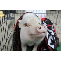 Parker the Rally Pig